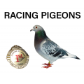Buy Racing Pigeons