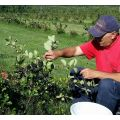 Silvio\'s Farm Aronia Berry - Pick Your Own Today