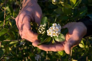 Aronia Flower at Silvio's Aronia Farm in Port Perry ON Canada