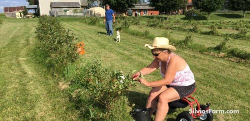 Aronia Berry Picking at Silvo's Aronia Farm