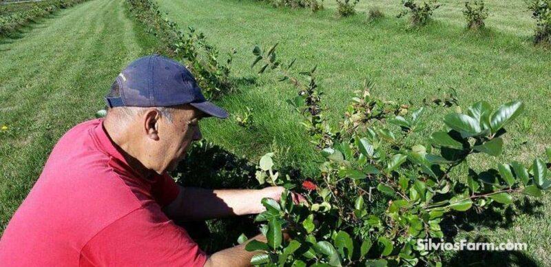 Picking Aronia at Silvo's Farm
